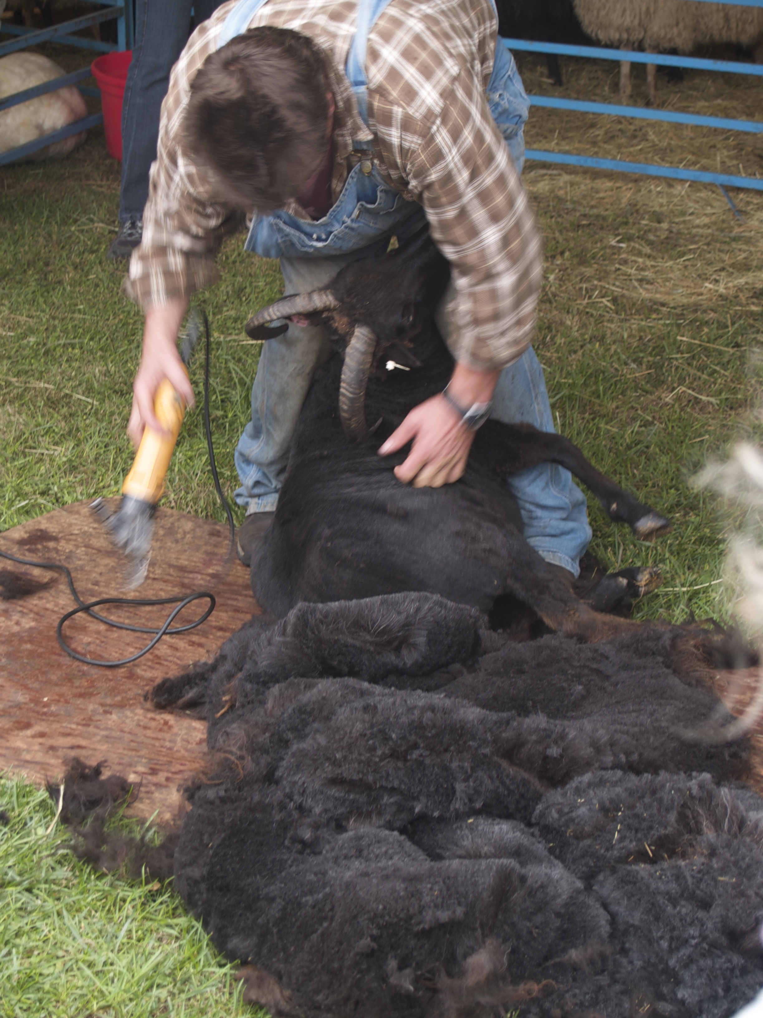 Where all wool begins: the sheep shearing