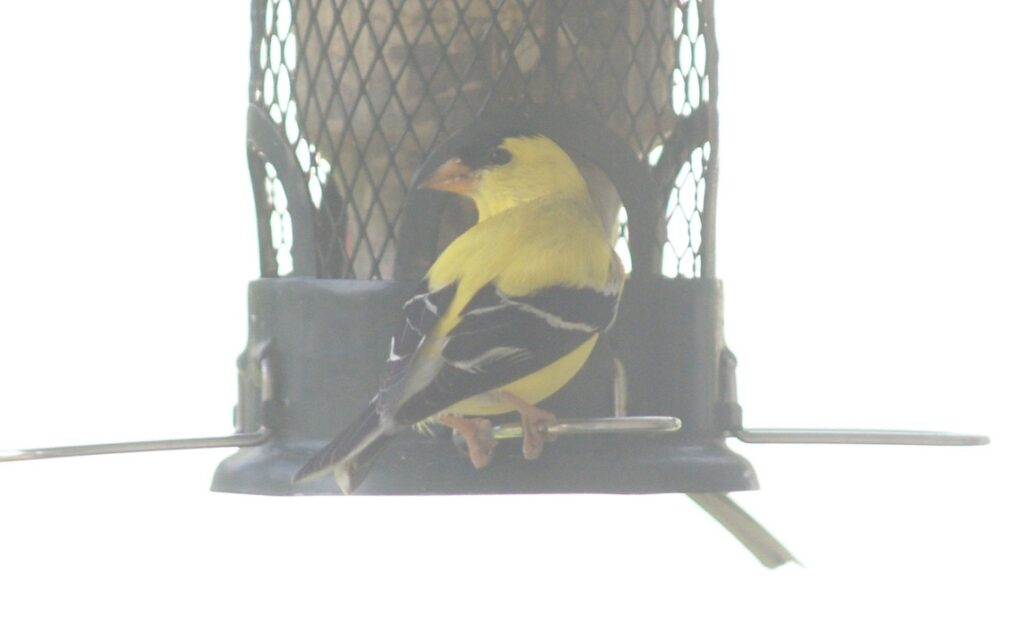 Male Gold Finch at a bird feeder, looking over his shoulder