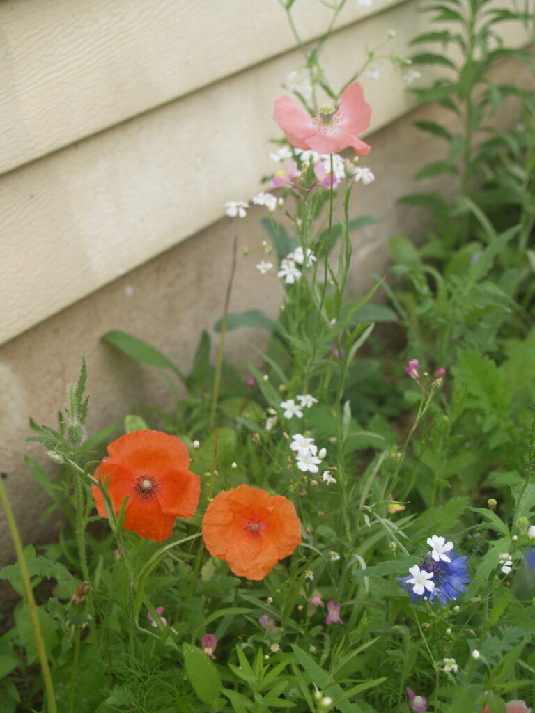red and pink poppies, cornflower, and white flower, in a section of wildflowers growing against the wall of a house